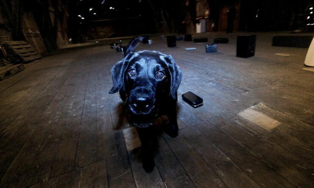Hunden Pelle, eid av politibetjent Elisabeth Vorland, under NM for narkotikahunder på Akershus festning i Oslo 2012.