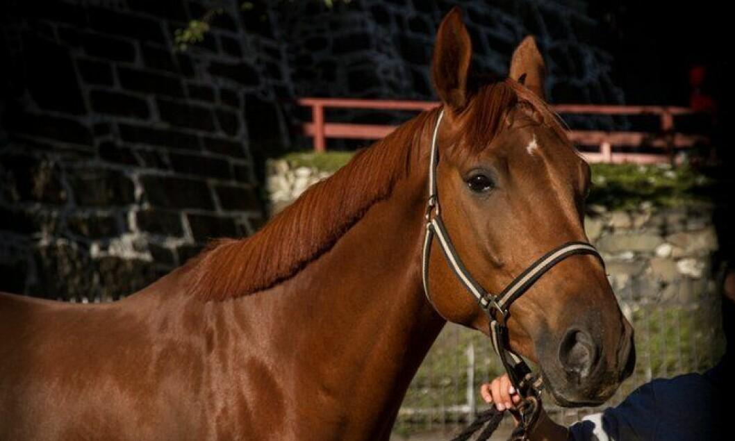 En av Rytterkorpsets hester, sept 2013
