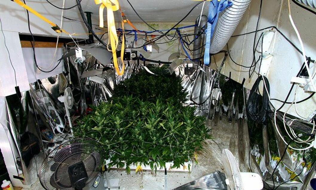 Slike kaotiske plantasjer er noe politifolk kan støte på. Der er det mange farer som lurer.