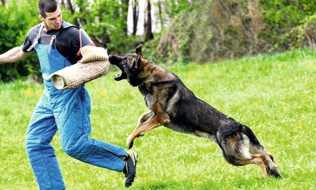 – Politidistriktene har ingen formelle systemer for å kunne kvalitetssikre eller rapportere bruken av patruljehund, skriver artikkelforfatteren.