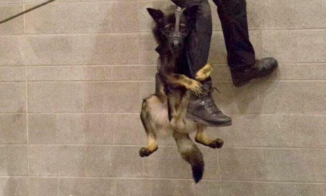 Politihunden Niko trener på rappellering.