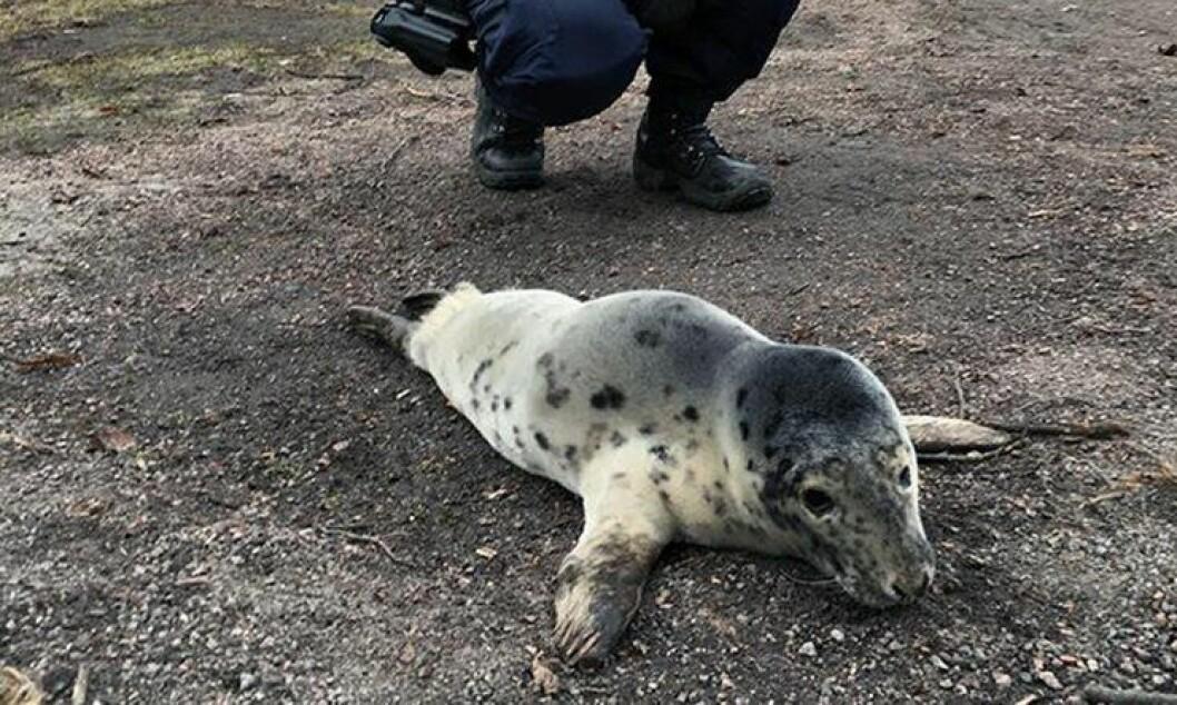 Denne selungen trengte hjelp av politiet i dag tidlig. Den hadde tatt en tur på land.