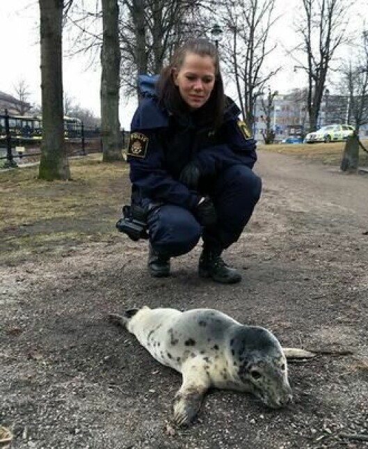 Politibetjenten Charlotta måtte lokke selen ut i vannet igjen, ved hjelp av fisk.