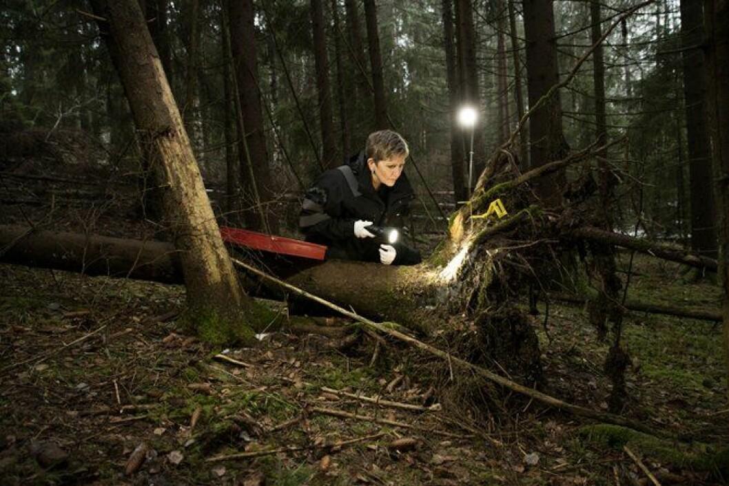 Med lykt og lupe leder Eva etter spor i skogen. Foto: Thomas Haugersveen.