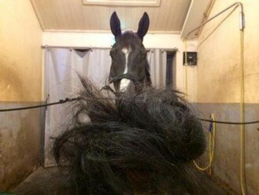 KLIPP: Når man har fått seg jobb som politihest og må klippe håret.