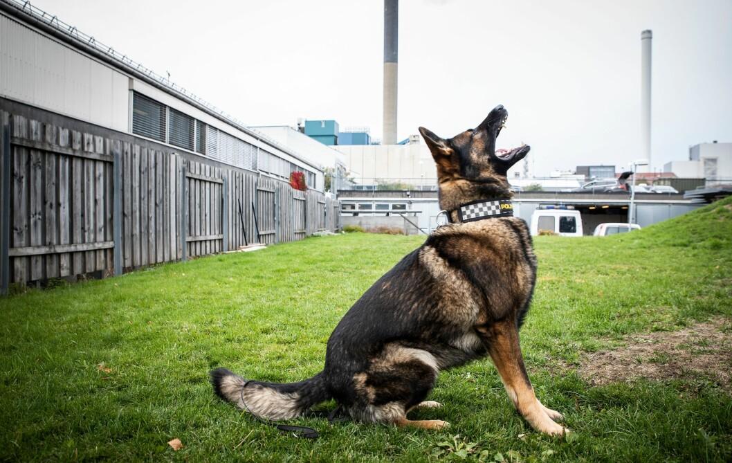 Klar for tjeneste: Wango er klar for kveldsvakt hos hundepatruljen.
