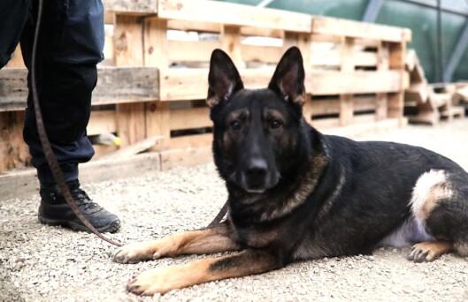 PÅ JOBB: Bjarne er en av tjenestehundene som er med i opptaket av nye hundeførere.