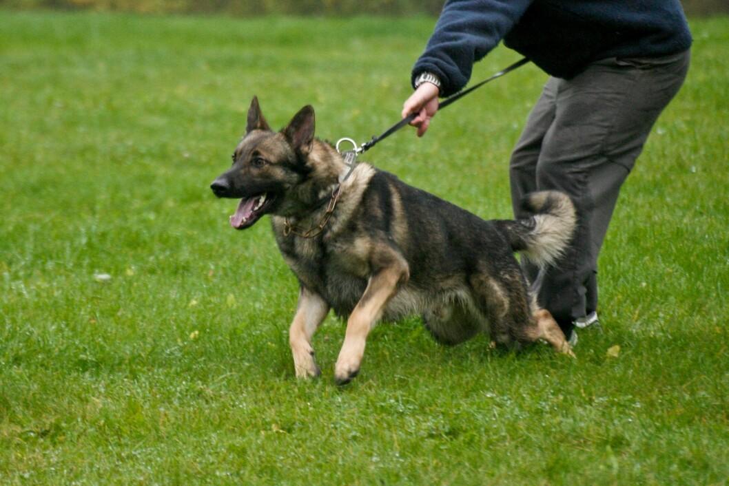 POLITIHUND: Forskere ved Universitetet i Ås har funnet ut at det gir tilnærmet samme resultat om man tester hundene når de er et halvt år, eller om de testes når de er ett år gamle.