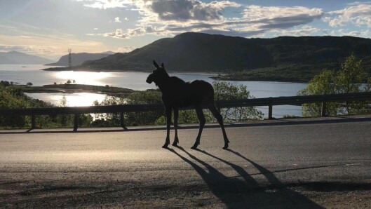 ELG I SOLOPPGANG: Denne elgen tok en rusletur forbi politipatruljen på E10 i Troms.
