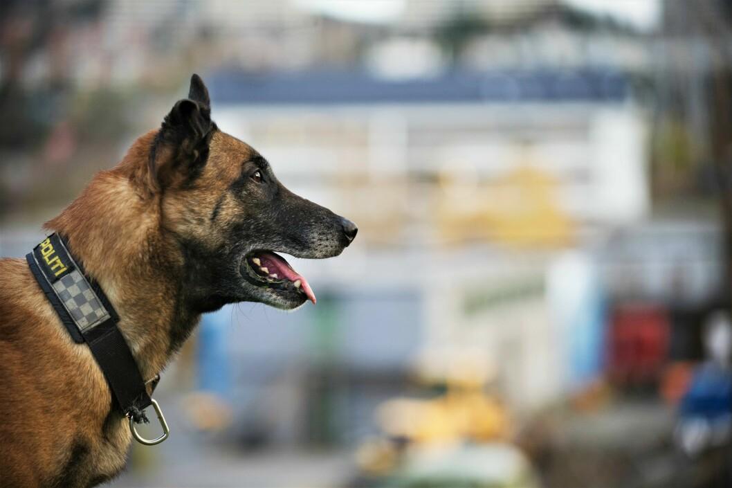 EKSTRA FORSIKTIGE: Hundetjenesten prøver å skåne politihundene så langt det er mulig – frem til man vet mer om den mystiske hundesykdommen.