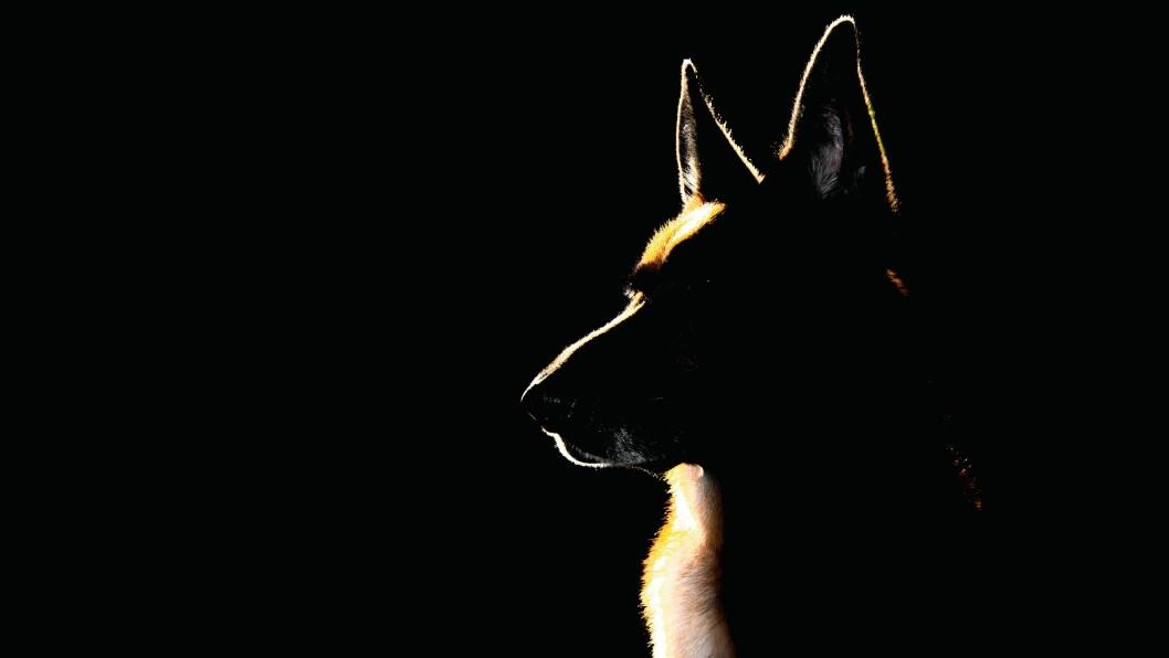 En schæferhund som ble kjøpt av Innlandet politidistrikt bet en 10 år gammel jente på vei hjem fra skolen. Bildet er et illustrasjonsfoto.