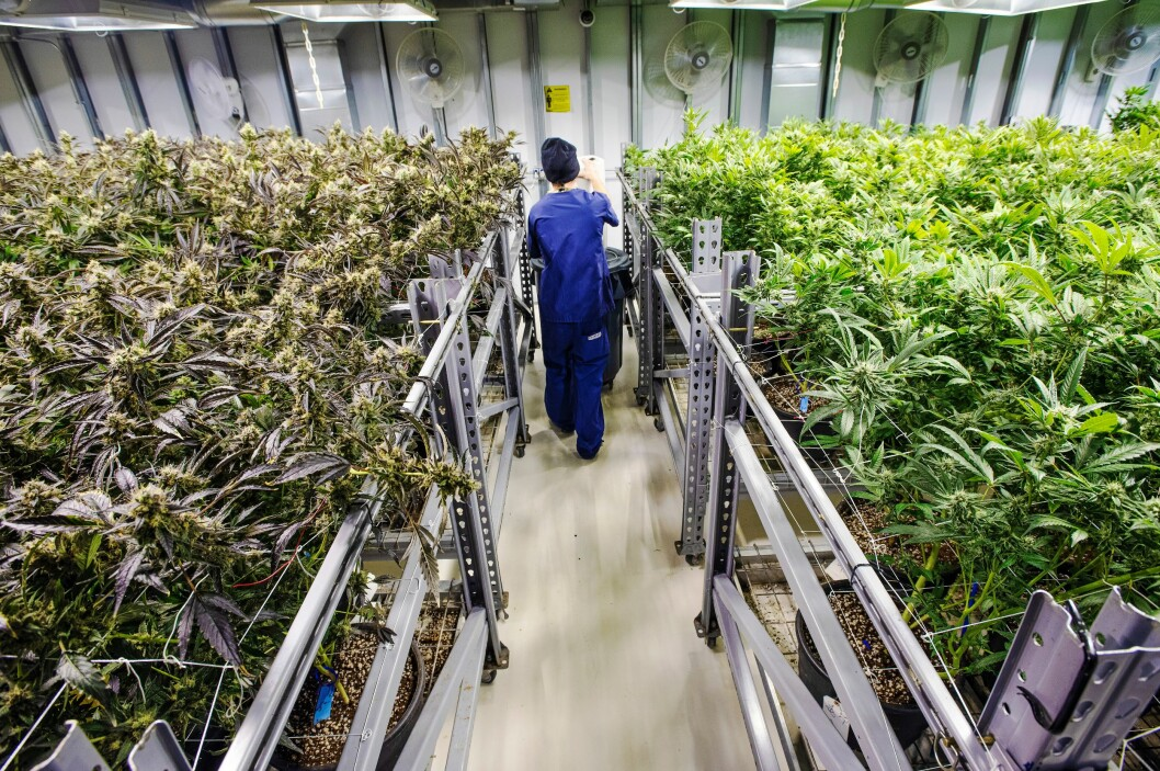HELPROFF PRODUKSJON: Cannabisdyrkerne optimaliserer forholdene inne i vekstrommene for maksimal avling. Planter som blir fort ferdige, har høyt THC-innhold, god lukt og god smak, er det man ønsker seg.